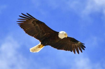 eagle soar